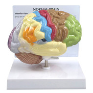 Sensory/Motor half Brain Anatomical Model