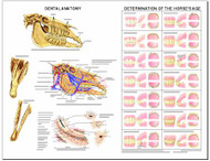 Equine Chart , Dental