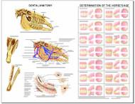 Equine Chart , Dental
