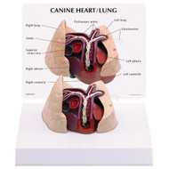 Canine Heart & Lung Heart Worm Anatomical Model