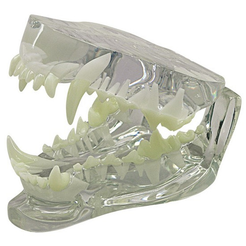 Canine Jaw Anatomical Model