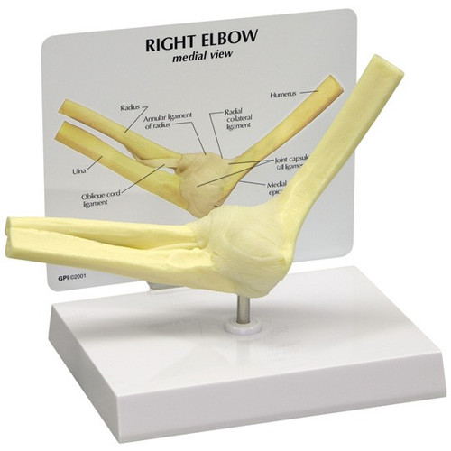 Elbow Anatomical Model