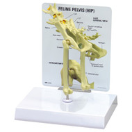 Feline Hip Anatomical Model