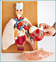 Cardiopulmonary System Anatomical Model