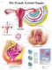 The Female Genital Organs Poster