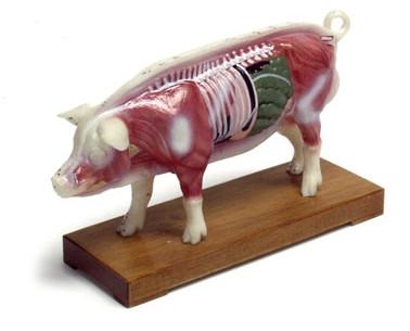 Pig Acupuncture Model