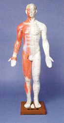Human Body Acupuncture Model