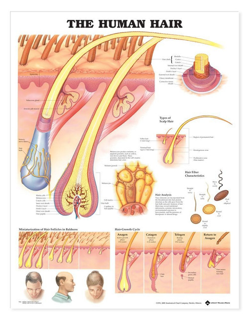 Hair Anatomy Poster, Human