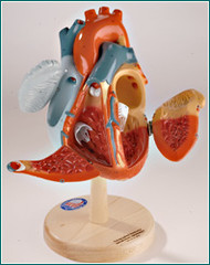 Heart of America Anatomical Model- The Original