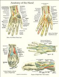 Hand Anatomy Laminated Poster