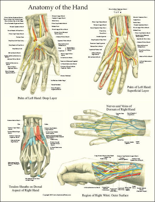 Hand And Wrist Anatomy Laminated Poster - Clinical Charts and Supplies