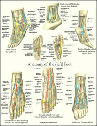 Foot Anatomy Laminated Poster