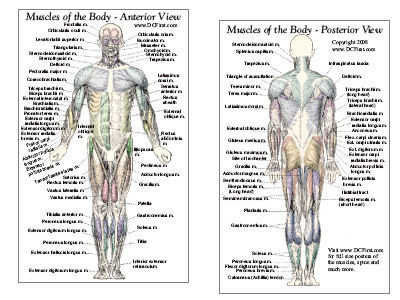 Muscle Anatomy Card Anterior Posterior Clinical Charts And