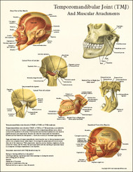 TMJ Anatomy and Muscular Attachments Poster