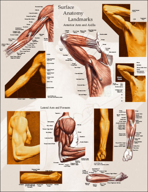 Upper Body Surface Landmarks Of The Muscles Posters Clinical
