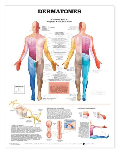 Dermatome Anatomy Poster