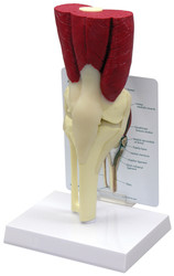 Knee Anatomical Model Muscled-2