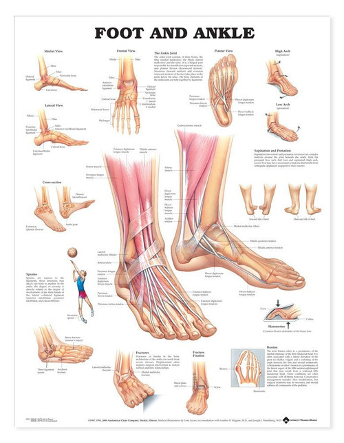 Foot and Ankle Anatomical Poster