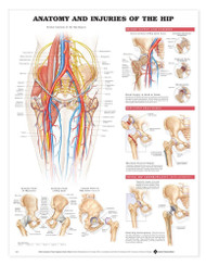Hip Anatomical Chart Anatomy and Injuries