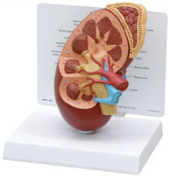 Kidney Anatomy Model