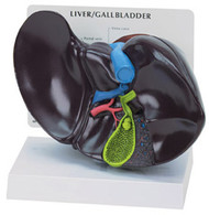 Liver and Gallbladder Anatomical Model