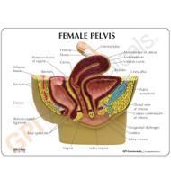 Female Pelvis Model Description Card