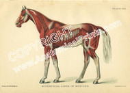 Superficial Muscle of Horse