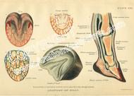 Equine Foot Anatomy chart