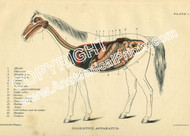 Digestive system of a horse.