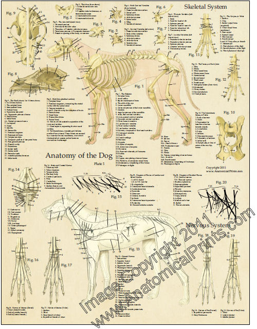 Dog Anatomy Poster Set - Clinical Charts and Supplies