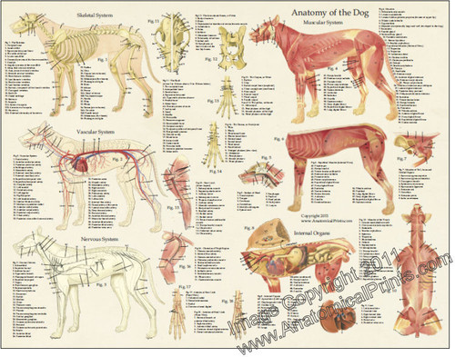 Dog anatomy laminated poster clinical charts and supplies