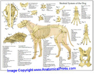 Dog Skeletal System
