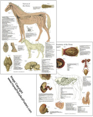 Horse Nervous System and Organs Poster