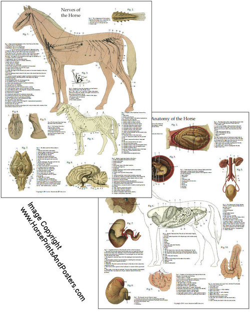 Horse Nervous System and Organs Poster - Clinical Charts and Supplies