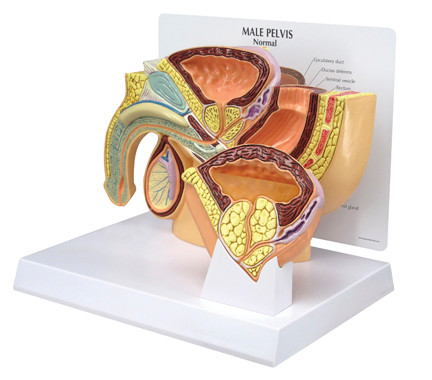Male Pelvis Cross Section Anatomy Model
