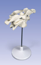 Atlas and Axis Vertebrae Model