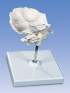 Atlas and Axis Vertebrae, with occipital plate, assembled, on removable stand