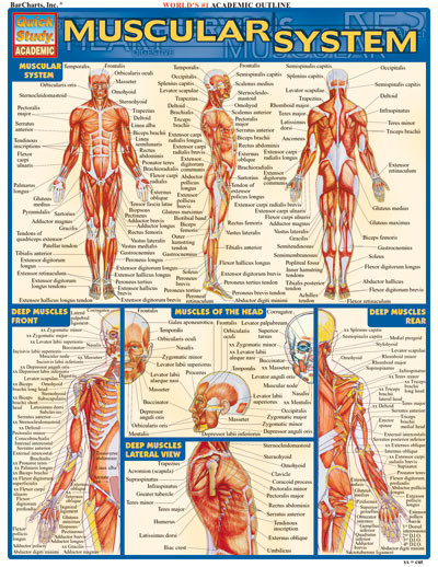 Muscle study guide for anatomy
