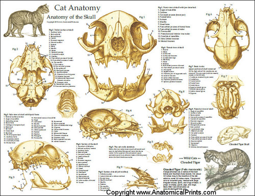 Cat Skull Anatomy Laminated Poster Clinical Charts And