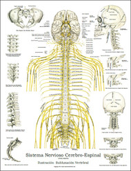 Spinal Nerves in Spanish