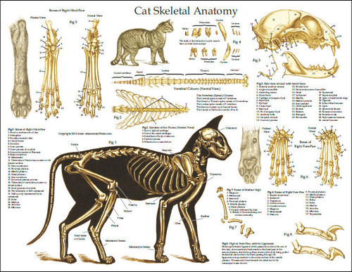 Cat Skeleton Anatomy Poster - Clinical Charts and Supplies