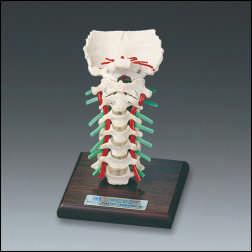 Cervical Vertebral Anatomy Model Deluxe