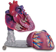 Heart Model-Giant Size
