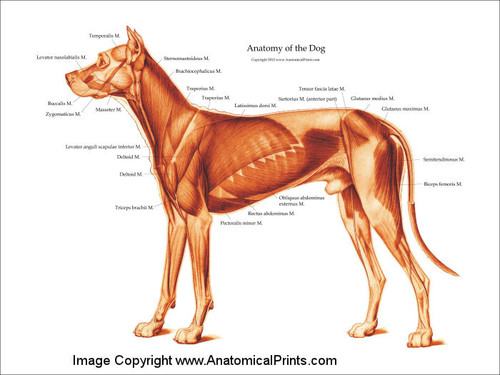 Muscle Charts Anatomy Ibovnathandedecker