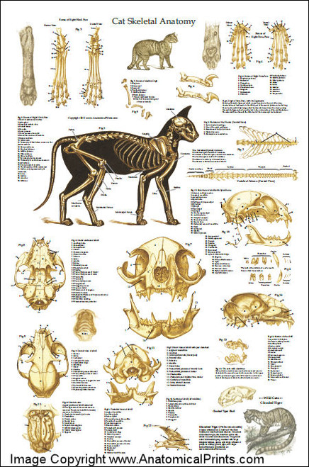Cat Anatomy Poster And Skeleton - Clinical Charts and Supplies