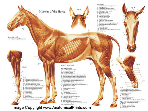 Horse Muscle Poster - Clinical Charts and Supplies