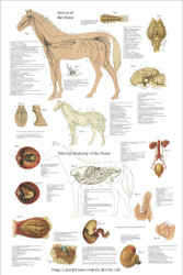 Equine Organ and Nervous System Chart