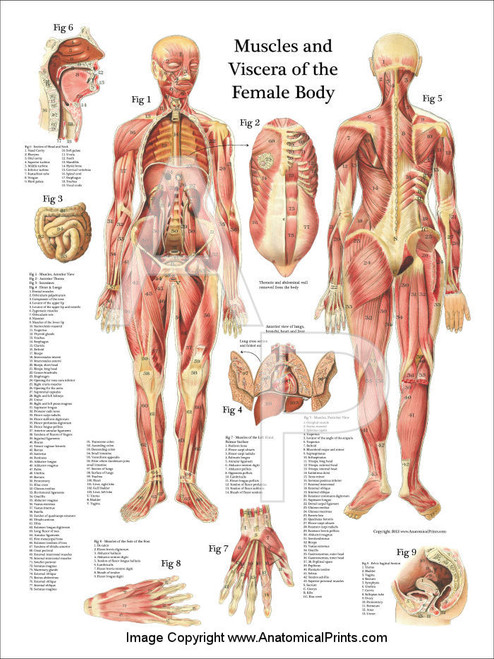 muscles and viscera of the female anatomy poster - clinical charts, Muscles