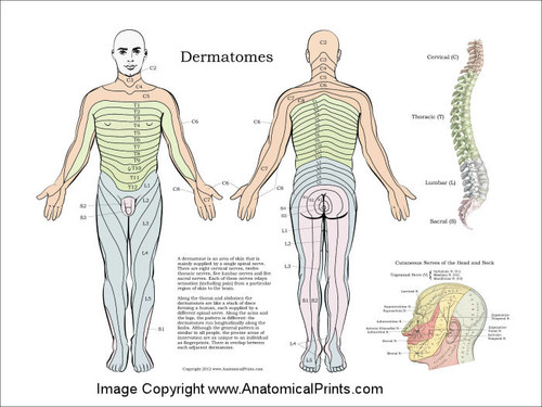 Dermatome System Poster Clinical Charts And Supplies