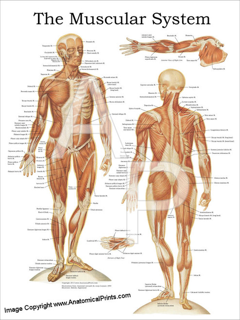 The Muscular System Anatomy Poster Anterior And Posterior